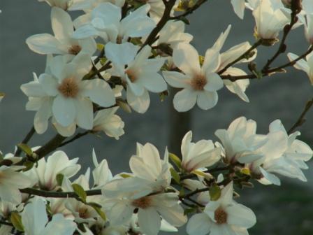 Magnolie Kleinwüchsig kaliebes blumenhaus magnolien