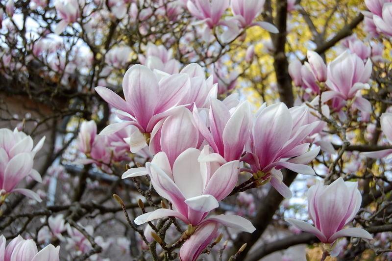 magnolie umpflanzen magnolie unterpflanzen die passenden. Black Bedroom Furniture Sets. Home Design Ideas