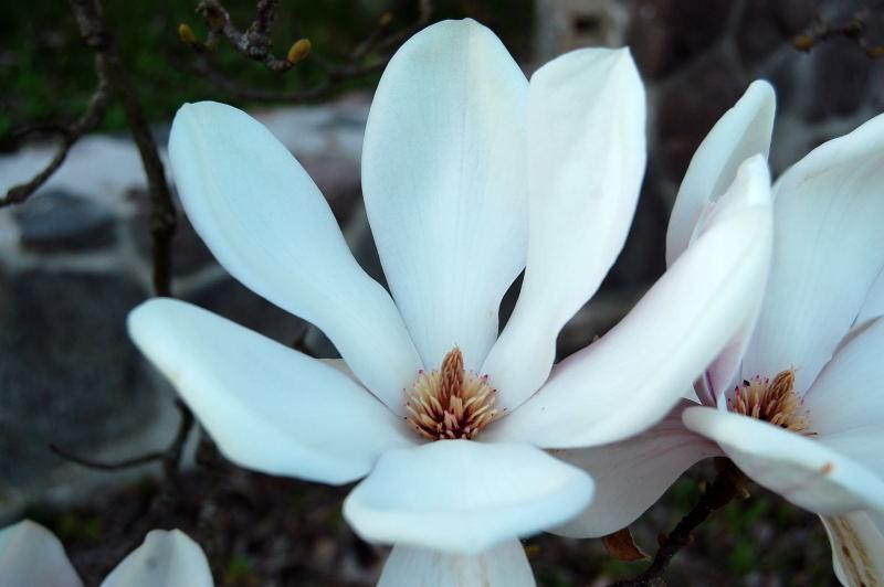 kaliebes blumenhaus magnolien. Black Bedroom Furniture Sets. Home Design Ideas