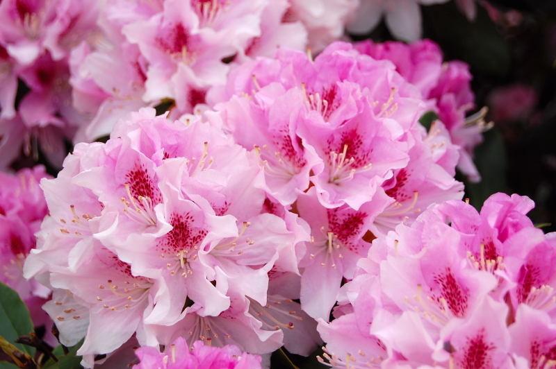 rhododendron blutezeit rhododendren und azaleen blutezeitkalender