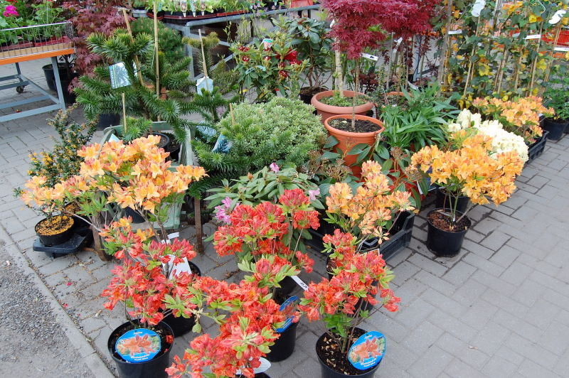 kaliebes blumenhaus rhododendren azaleen. Black Bedroom Furniture Sets. Home Design Ideas