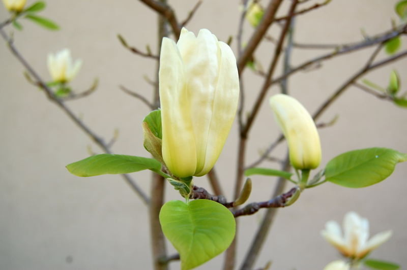 Kaliebes Blumenhaus - Magnolien