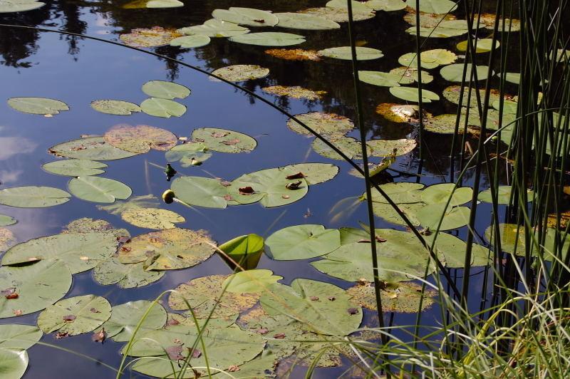 Kaliebes blumenhaus sauerstoffpflanzen for Teichfische die algen fressen