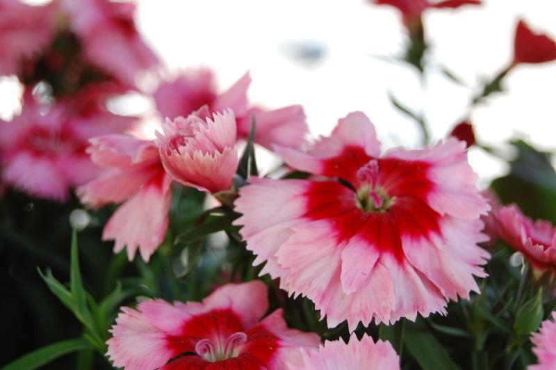 Balkonpflanzen märz  Kaliebes Blumenhaus - Allgemeines / Pflanzenbeschreibungen
