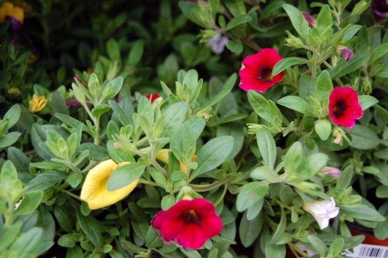 Kaliebes Blumenhaus Pflanzenbeschreibungen